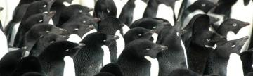 A large penguin colony