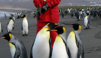 An escort of King Penguins