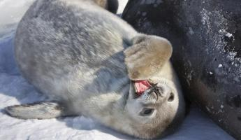 A seal pup poses yawns in the sunlight
