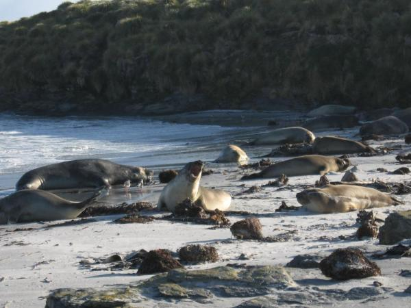 Elephant Seals on Saunders Island