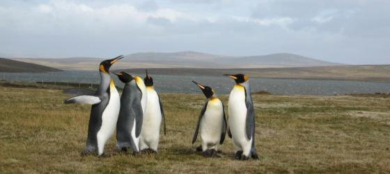King Penguins at Volunteer Point, East Falkland