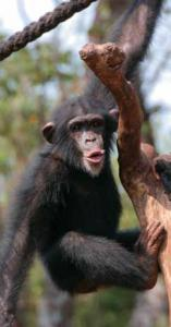 Visit the Tacugama Chimpanzee Sanctuary, Sierra Leone