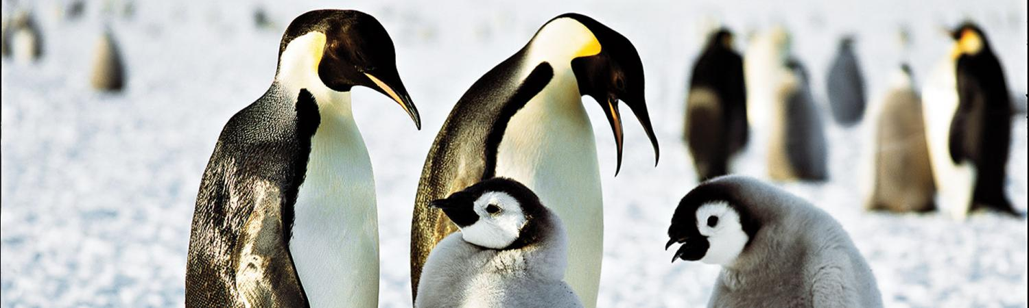 Small penguin families