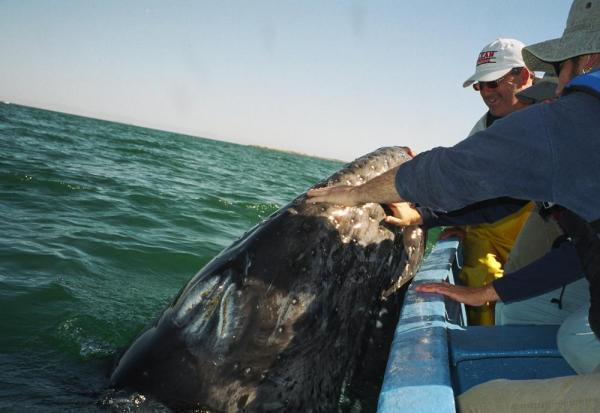 Close encounter with a gray whale in Baja