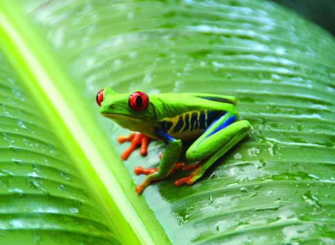Tree frog spotted in the Amazon
