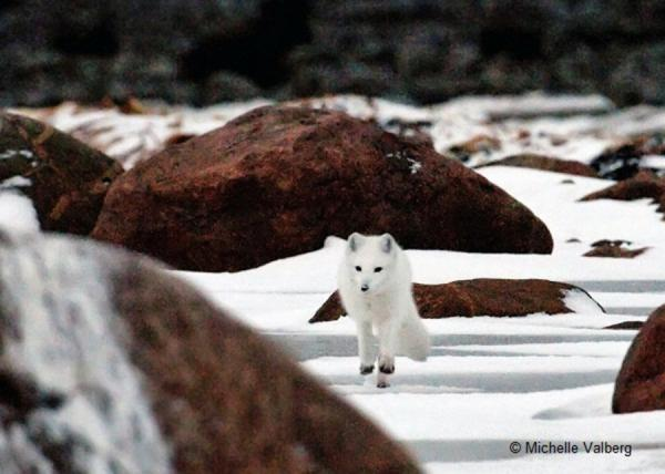 Encounter Arctic wildlife