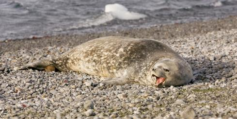 Seal relaxing on the shore