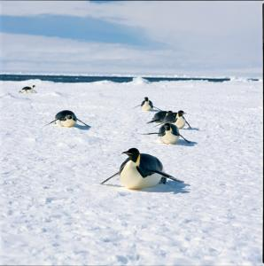 Penguins cruising the ice