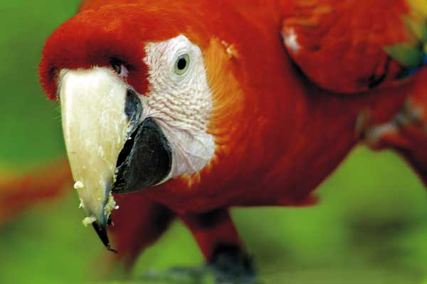The center has a scarlet macaw breeding program