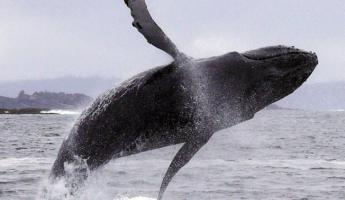 A humpback whale breaches in Alaska