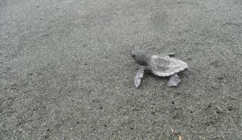 Baby sea turtle headed towards the ocean