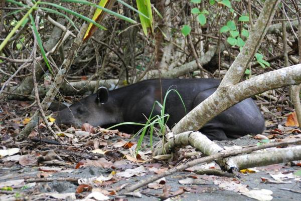 Sleepy wildlife in Corcovado National Park