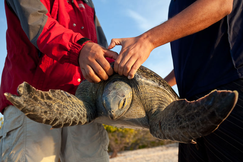 black sea turtle monitoring in Baja