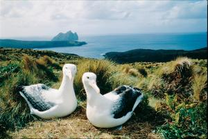 A pair of nesting albatross