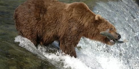 A grizzly bear catches a fish