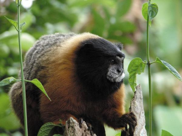 Golden Tamarins are one of many types of animals you will see on your Amazon cruise