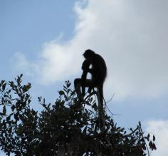 Spider Monkey at Belize Zoo