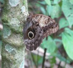 Owl Butterfly, Pooks Hill