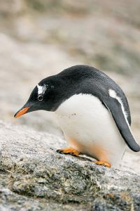 Sole Penguin