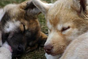 Two sled dogs take a nap on a lazy afternoon