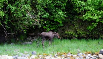 Glimpse elusive wildlife on your Alaskan cruise