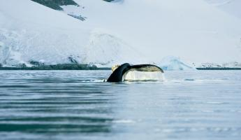 A humpback whale dives beneath the Antarctic waters