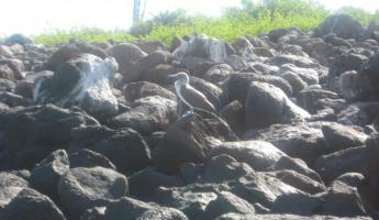 Our first blue footed booby sighting