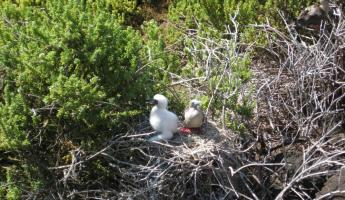 Nesting Red footed boobies