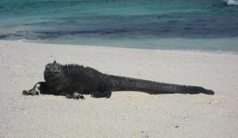 Beach time for the iguanas at Cerro Brujo, San Cristobal