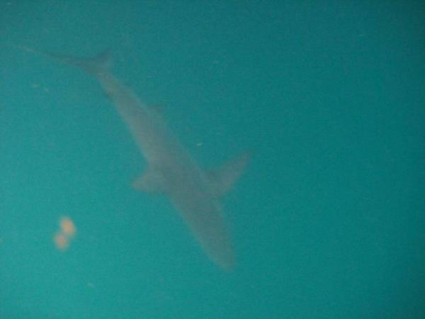 SHARKS!!!! Black tipped reef sharks, to be exact!