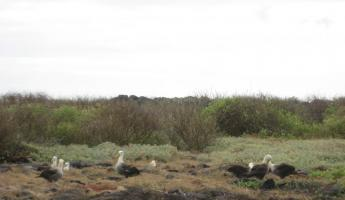 Waved albatross!