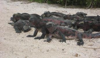 Marine iguana herd lounging on the beach