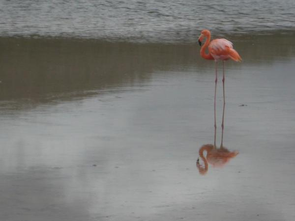 Flamingos at Punta Cormorant, Floreana