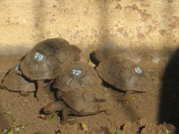 Baby tortoises- some were the size of ping pong balls!