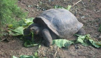 A Gapalagos Tortoise having a snack on Santa Cruz Island in the Galapagos