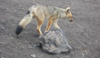 Andean wolf at Cotopaxi Volcano