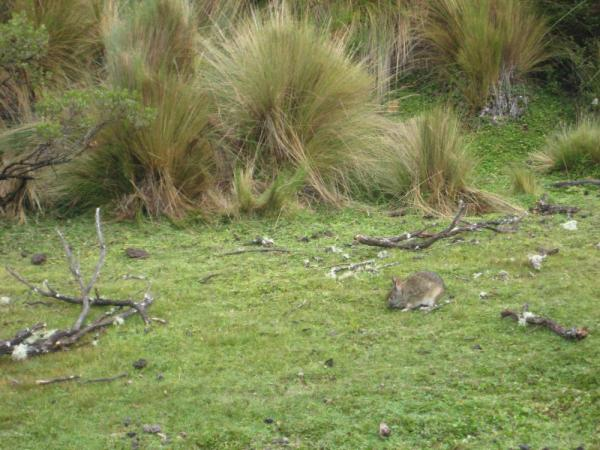 Andean rabbit at Lake Limpiopungo, Cotopaxi National Park