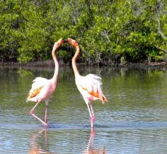 Flamingos doing a dance
