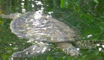 Sea Turtle on panga ride in the mangroves