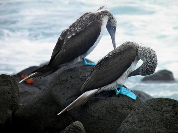 A pair of Blue Footed Boobies