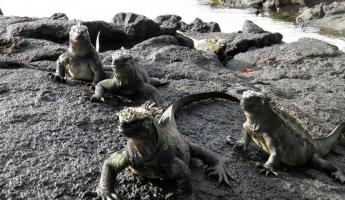 March of the marine iguanas