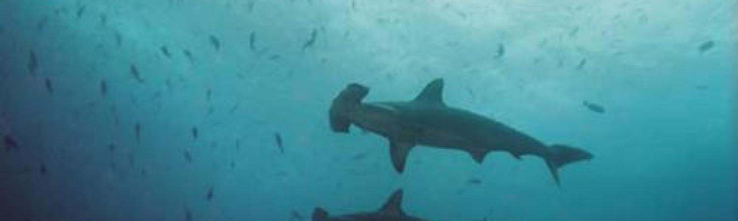 Hammerhead sharks swimming together in the waters of the Galapagos