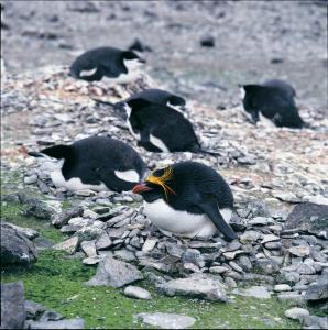 Chinstrap and Rockhopper Penguins