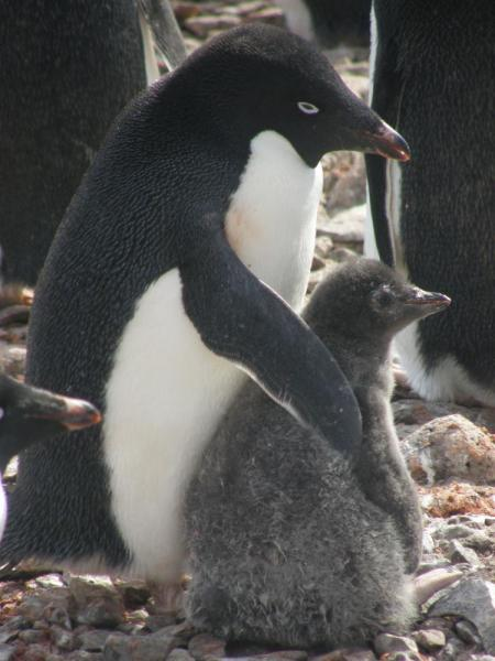 Adelie penguin with juvenile