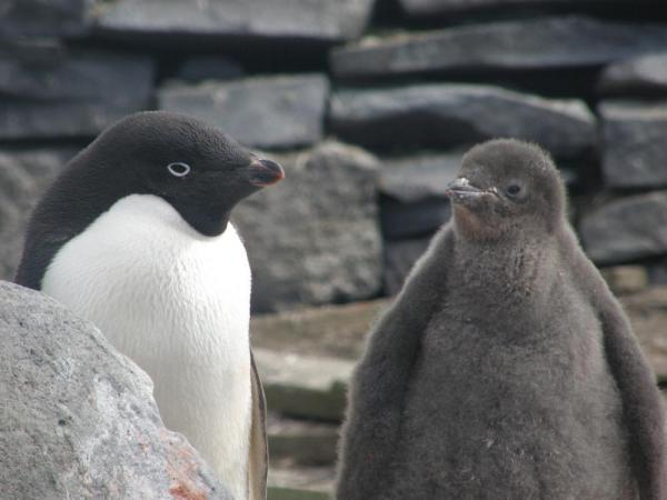 Adelie penguin and juvenile