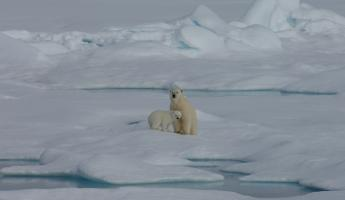 Polar Bears with cub
