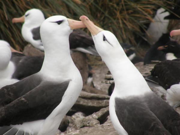 Black-browed albatross pair, Falkland Islands