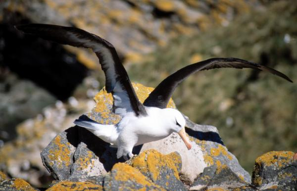 Watch an albatross take flight on your Falkland Islands trip