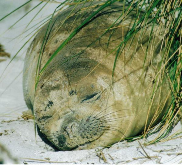 Watch an elephant seal snooze on a sunny beach on your Falkland Islands tour