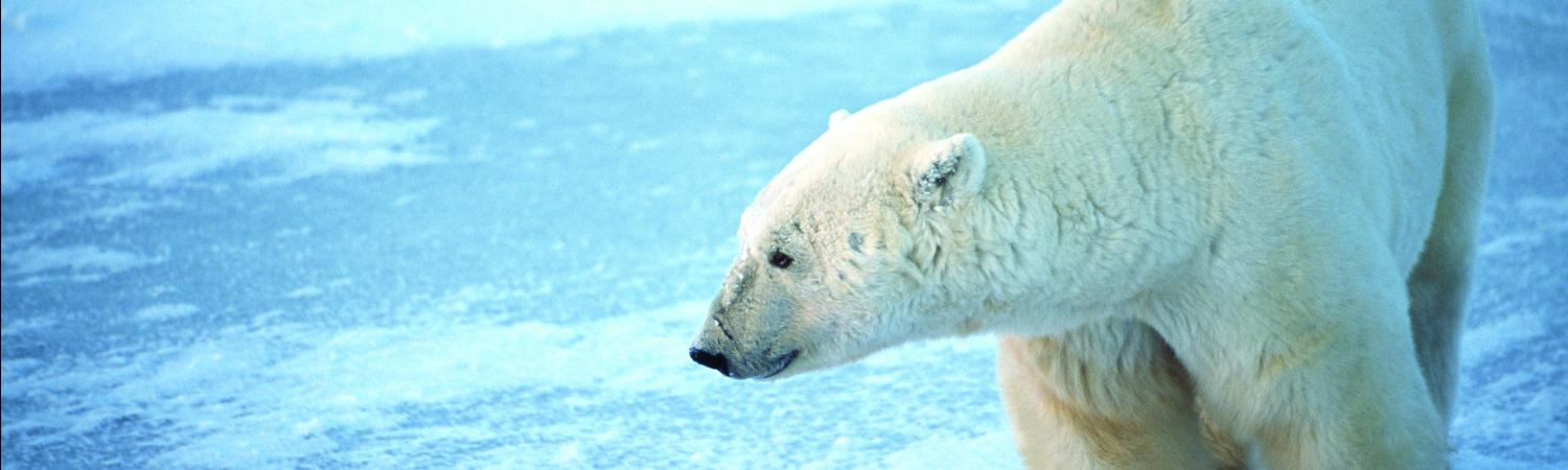 Arctic Polar Bear
